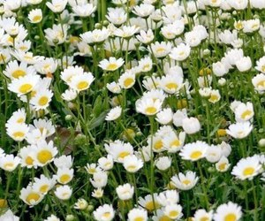 beauty, holiday, and daisies image
