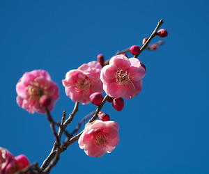 plum, flowers, and japan image
