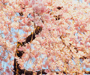 flowers, japanese, and nature image