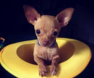 baby animals, chihuahua, and cute animals image