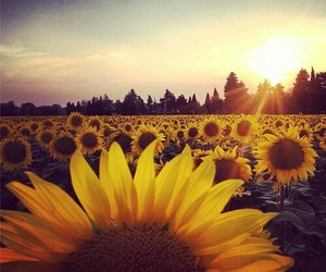 sunflower, flowers, and beautiful image