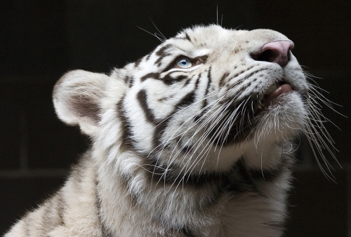 big cats and white tiger image