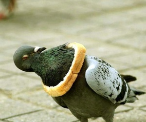 pigeon, funny, and bread image