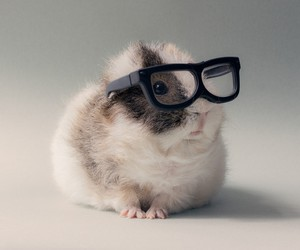 animal, glasses, and guinea pig image