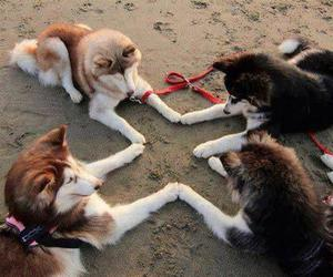 dog, animal, and husky image