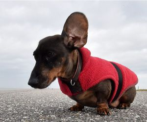 dachshund and ear image