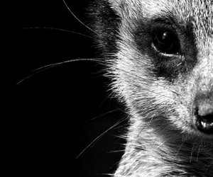 animal, black and white, and photography image