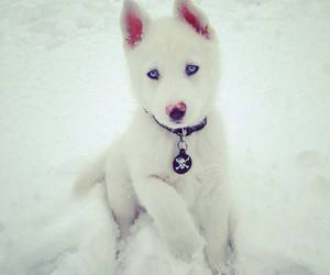 husky, white, and dog image
