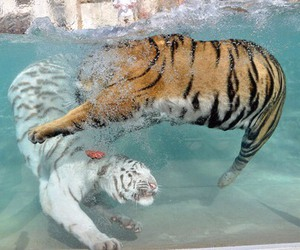 water, animal, and tiger image