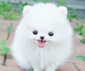 puppy, pomeranian, and teacup image
