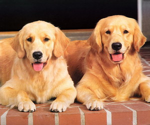 animal, golden retriever, and two image