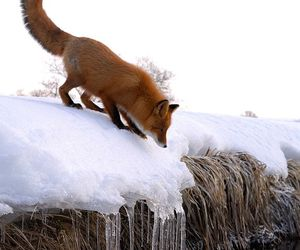 fox, winter, and animal image