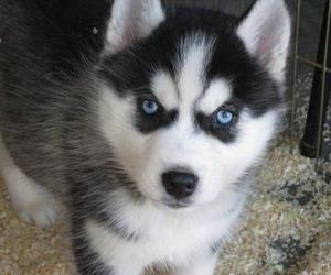 husky, blue eyes, and puppy image