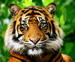 tiger, animal, and tigre image