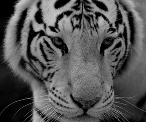 animal, tiger, and black and white image