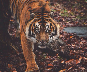animal, tiger, and beautiful image