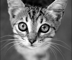 beautiful, black&white, and cat image