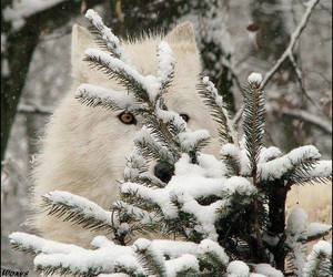 wolf and white wolf image