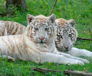 white tigers and tigers image