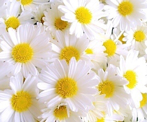 flowers, daisy, and yellow image