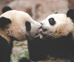 panda, animal, and kiss image