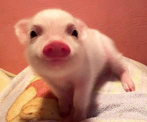 animals, pig, and pink image