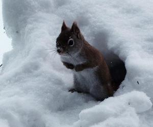animals, snow, and squirrel image