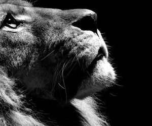 beauty, black and white, and lion image