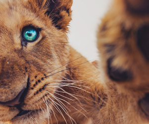 animal, lion, and eyes image