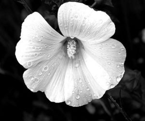 black&white, flowers, and nature image