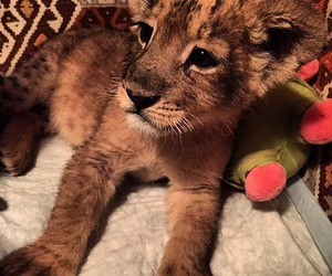 cute, lion, and baby image