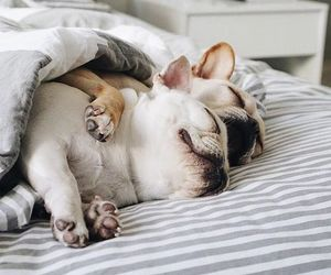 french bulldogs and sleeping dogs image
