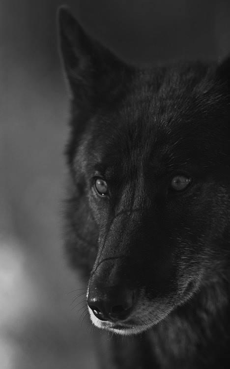wolf, animal, and dark image