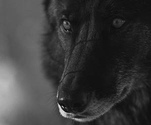wolf, animal, and beautiful image
