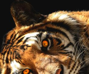 animal, tiger, and beauty image