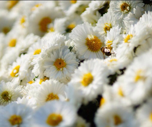 flowers, bee, and daisies image