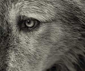 wolf and photography image