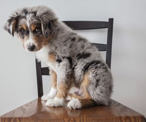 australian, shepherd, and dog image