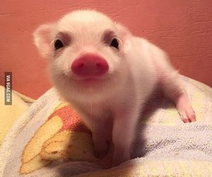 cute, pig, and animal image