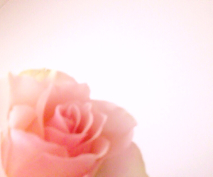 flower, ピンク, and 薔薇 image