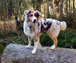 australian shepherd, beautiful, and dog image