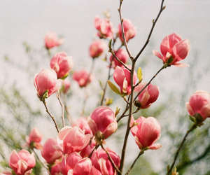 flowers, pink, and magnolia image