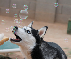 bubbles, dog, and husky image