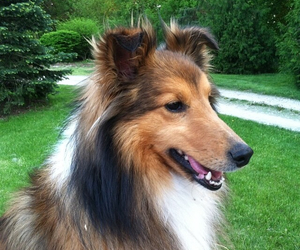 dogs, pretty, and sheltie image