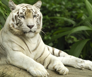 animals, white tiger, and beautful image