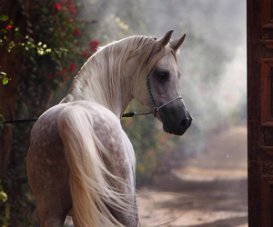horse, arabian, and white image