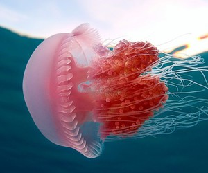 jellyfish, pink, and sea image