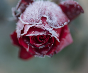 flowers, winter, and rose image