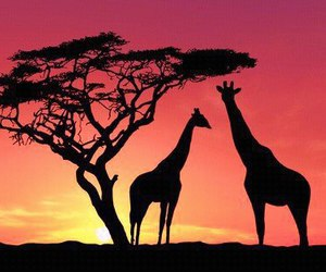 giraffe, sunset, and animal image