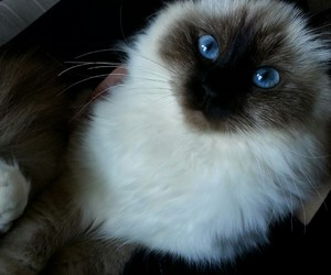 birman, black and white, and blue eyes image